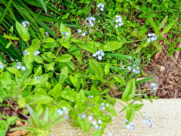 Forget-me-not-1.jpeg