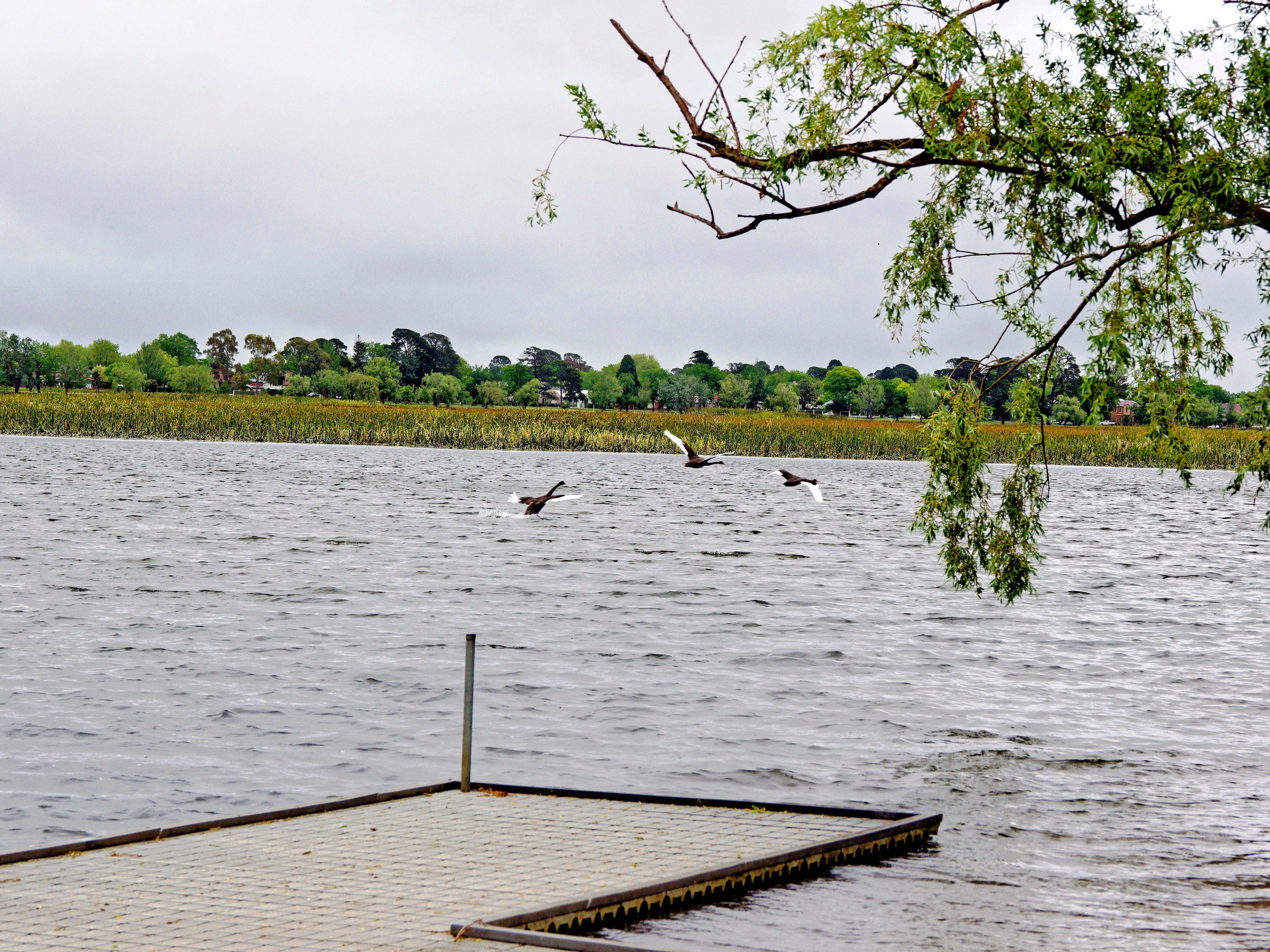 Swans-5.jpeg