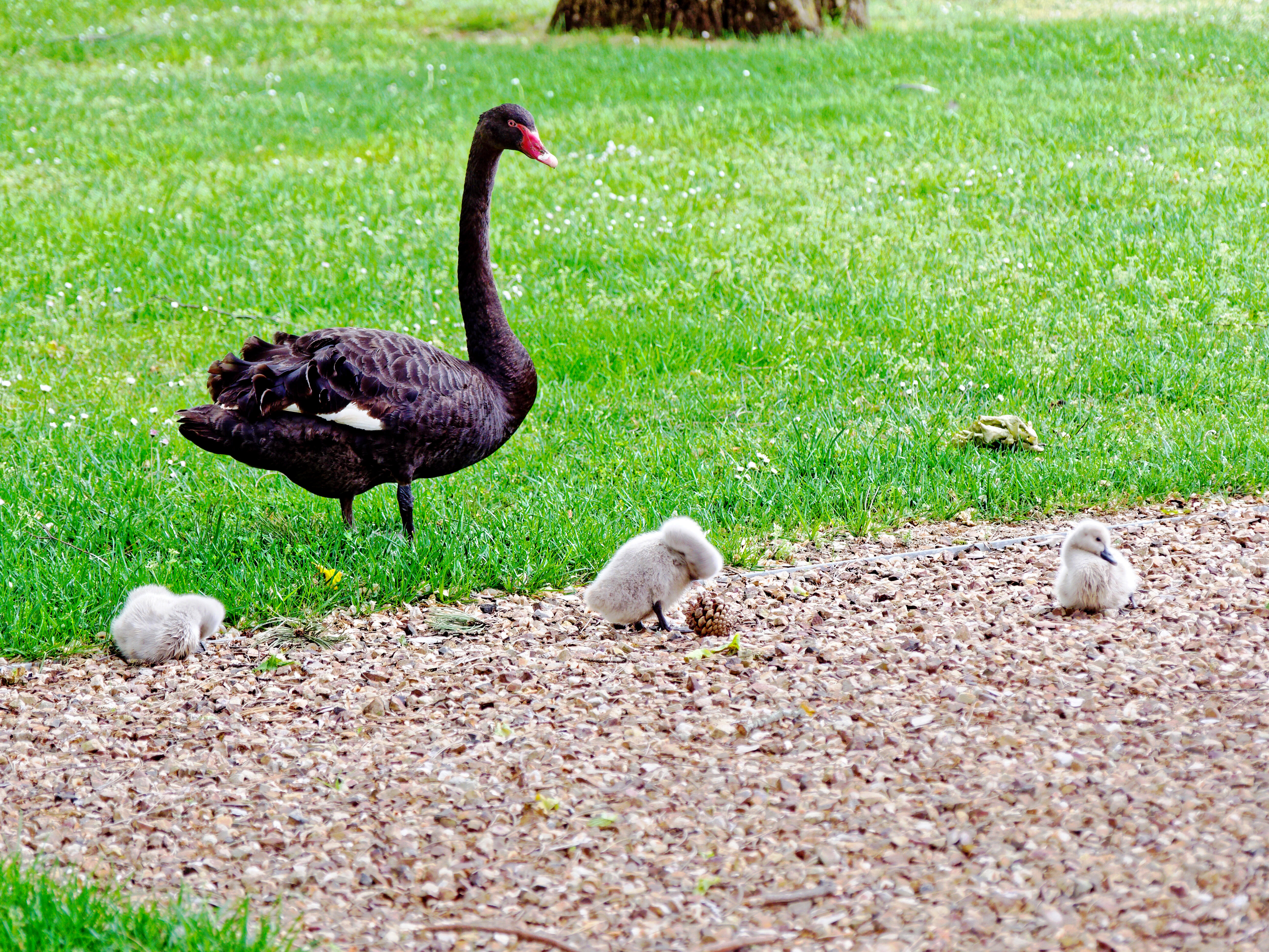 This should be Swans-cygnets-2.jpeg.  Is it missing?