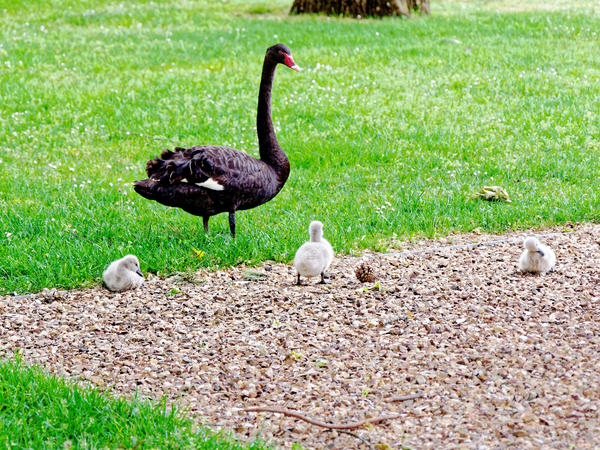 Swans-cygnets-1.jpeg