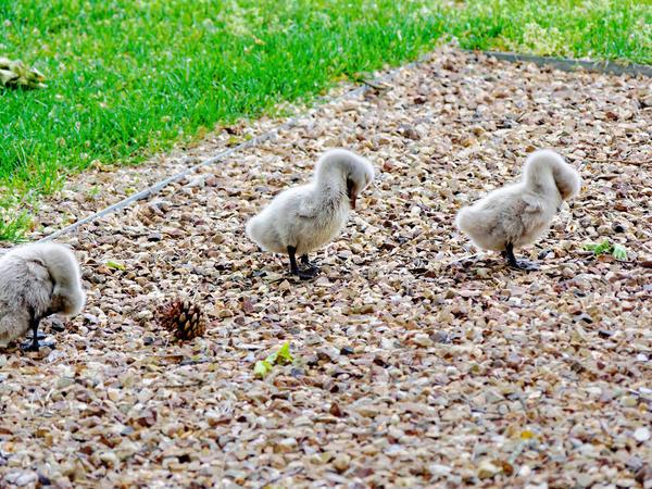 Swans-cygnets-4.jpeg