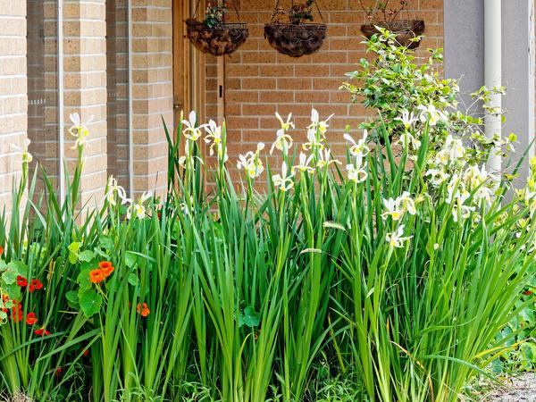 Irises-2.jpeg