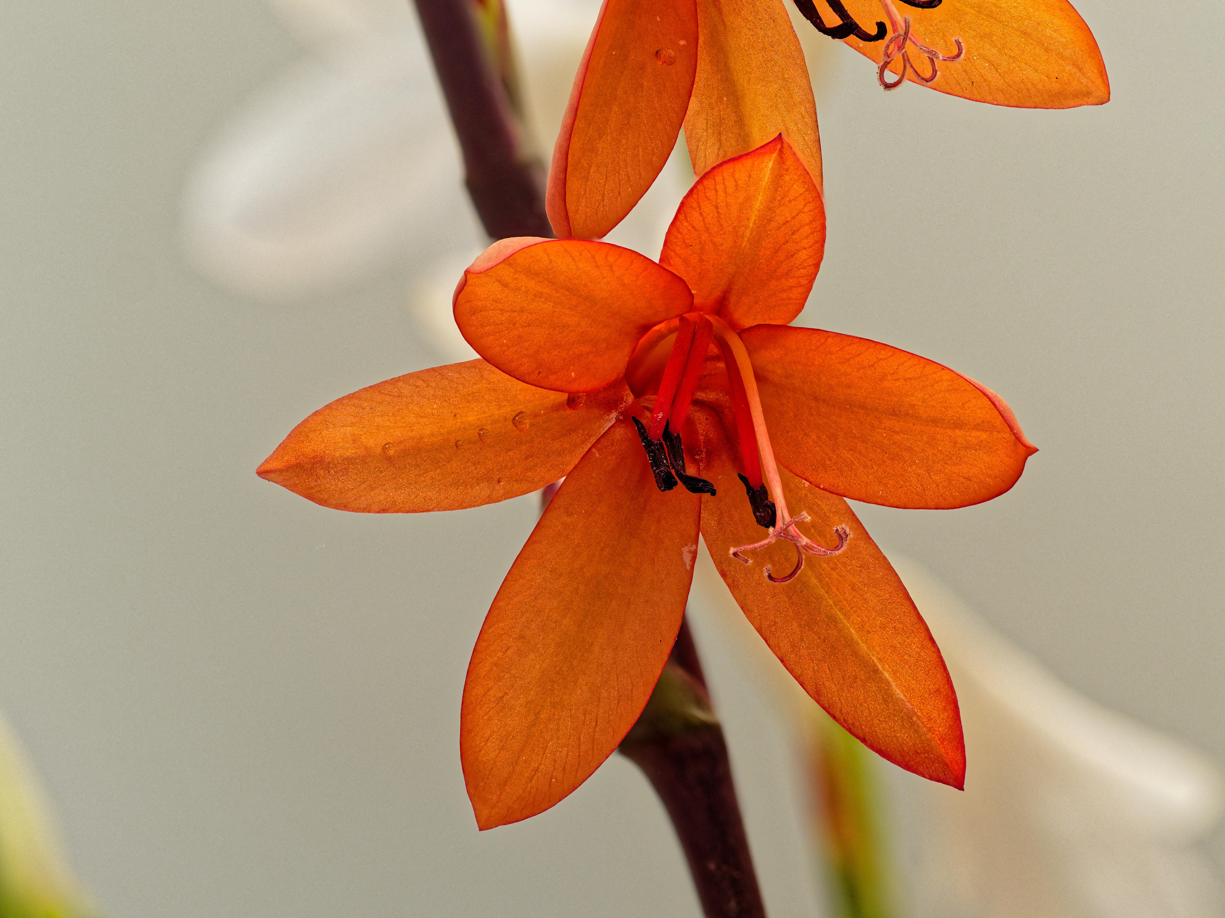 Watsonia-6-DMap.jpeg