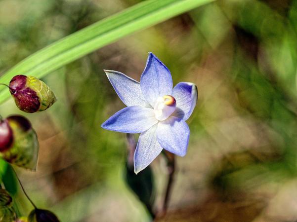 Thelymitra-pauciflora-9.jpeg