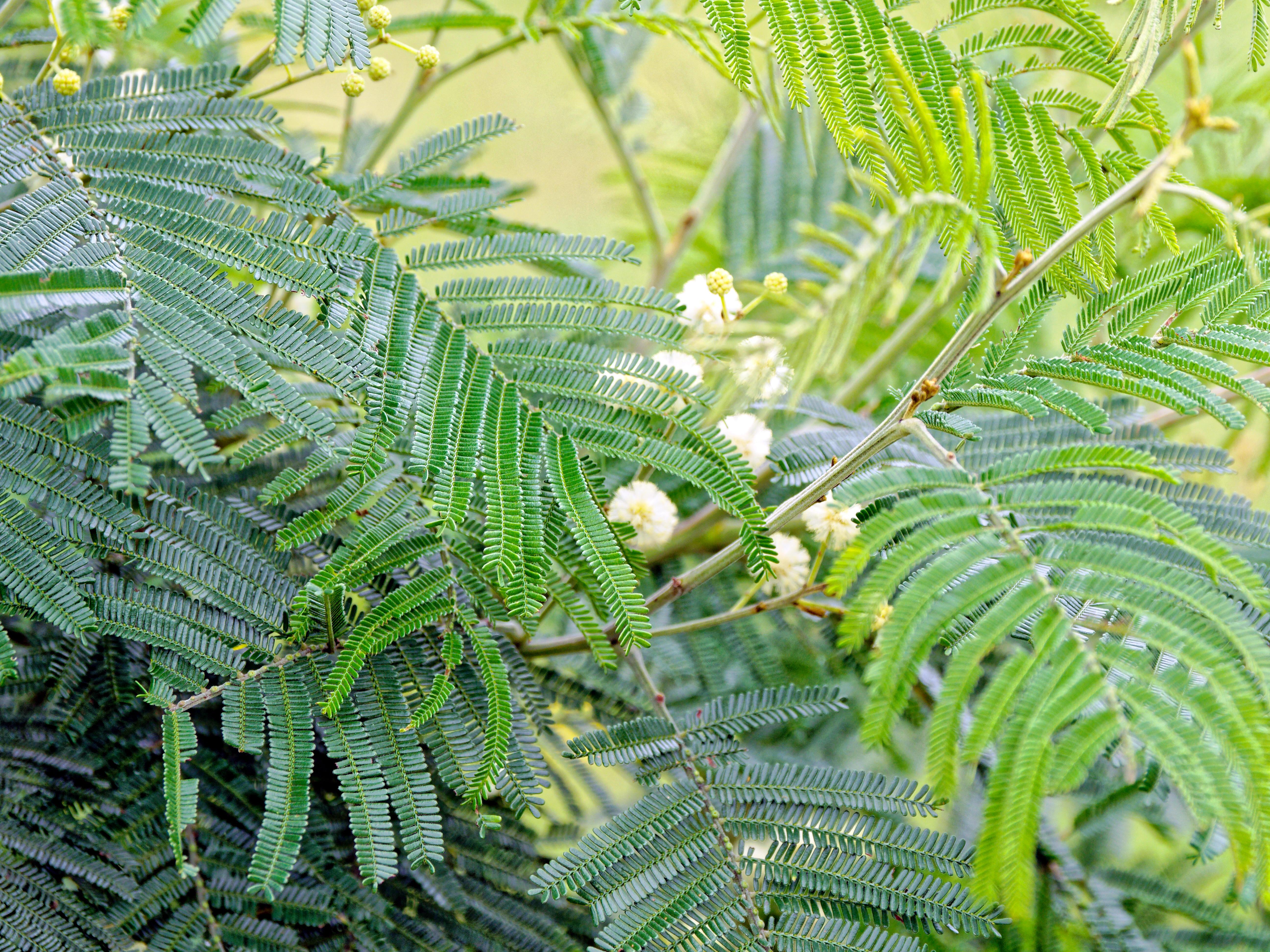 This should be Acacia-melanoxylon-4.jpeg.  Is it missing?