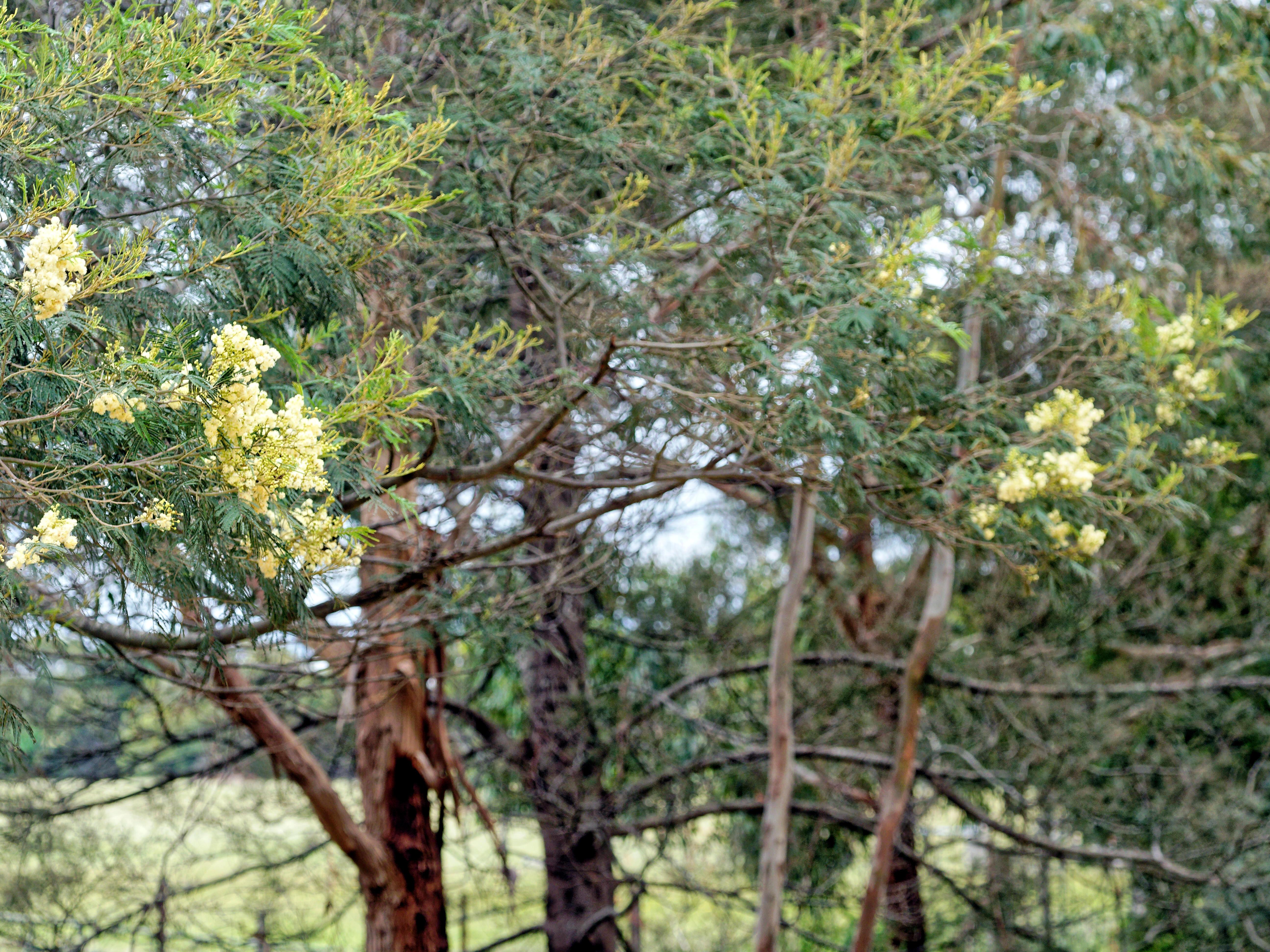 Acacia-melanoxylon-6.jpeg