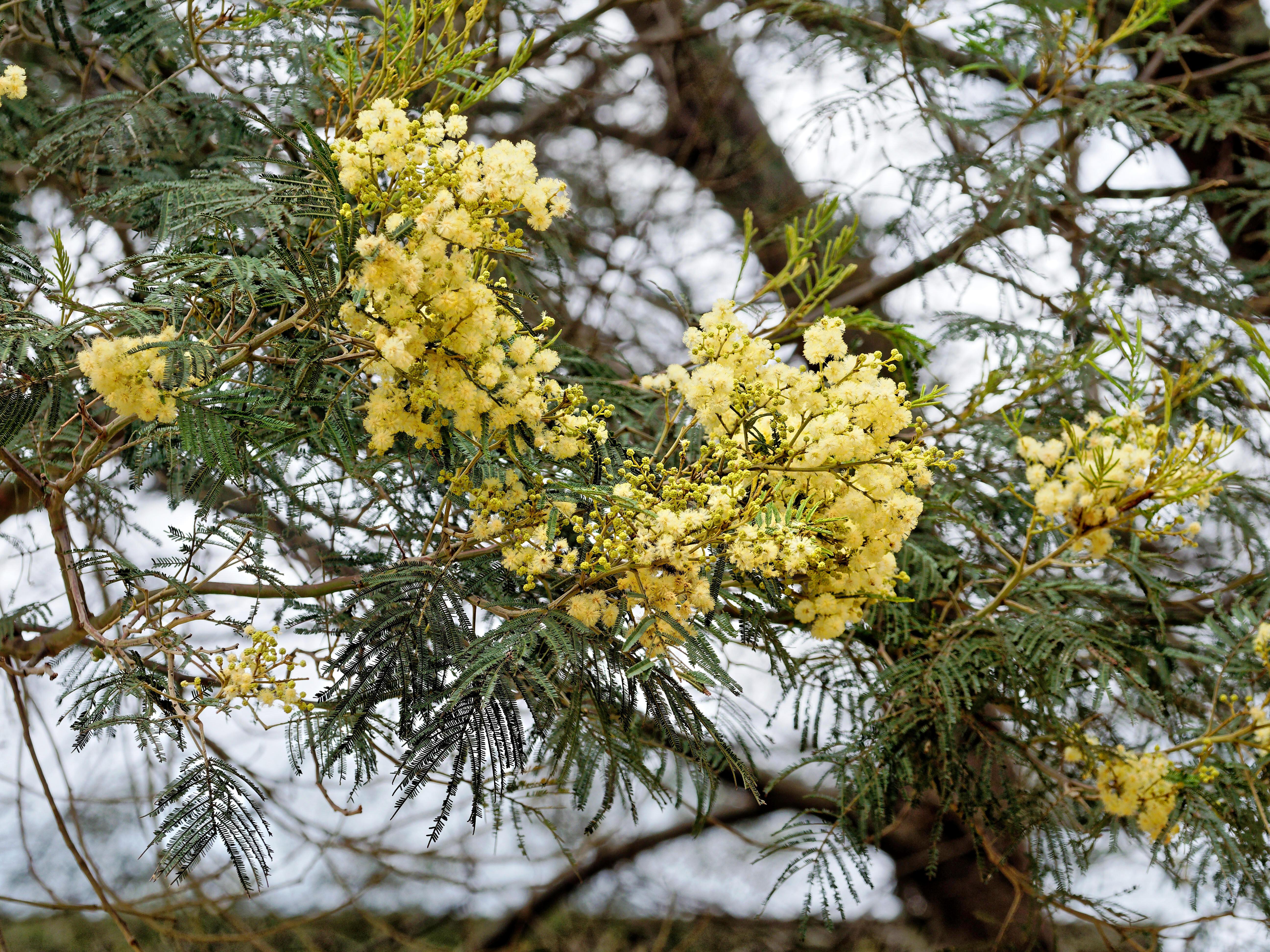 Acacia-melanoxylon-7.jpeg