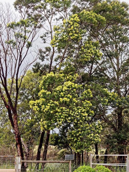 Acacia-melanoxylon-1.jpeg