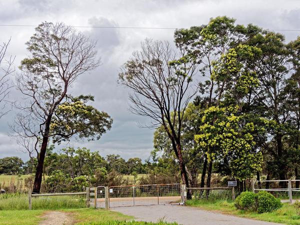 Acacia-melanoxylon-2.jpeg