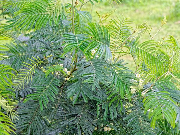 Acacia-melanoxylon-3.jpeg