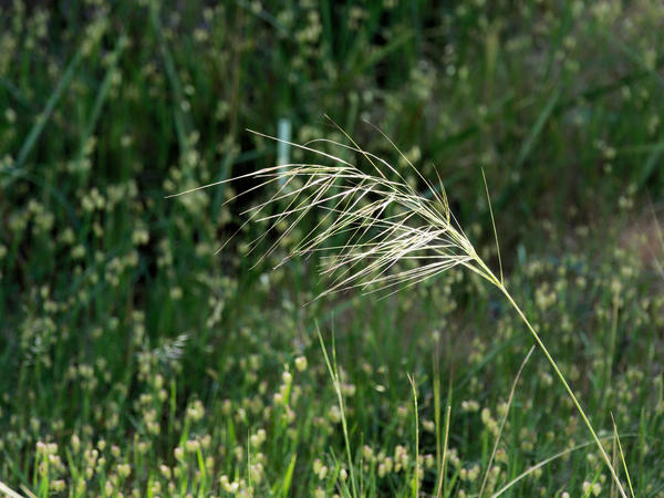 Grass-seed.jpeg