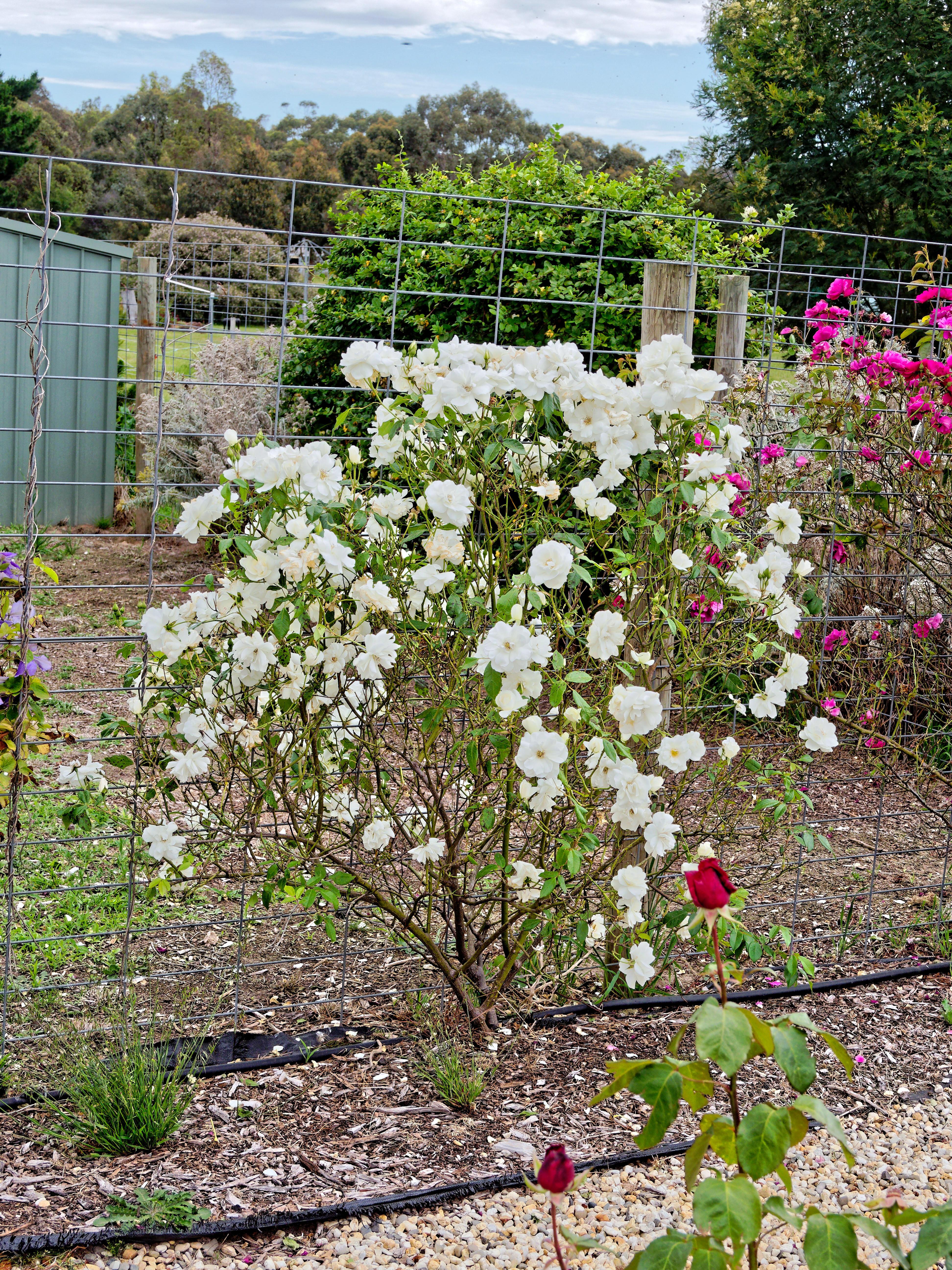 Rose-10.jpeg