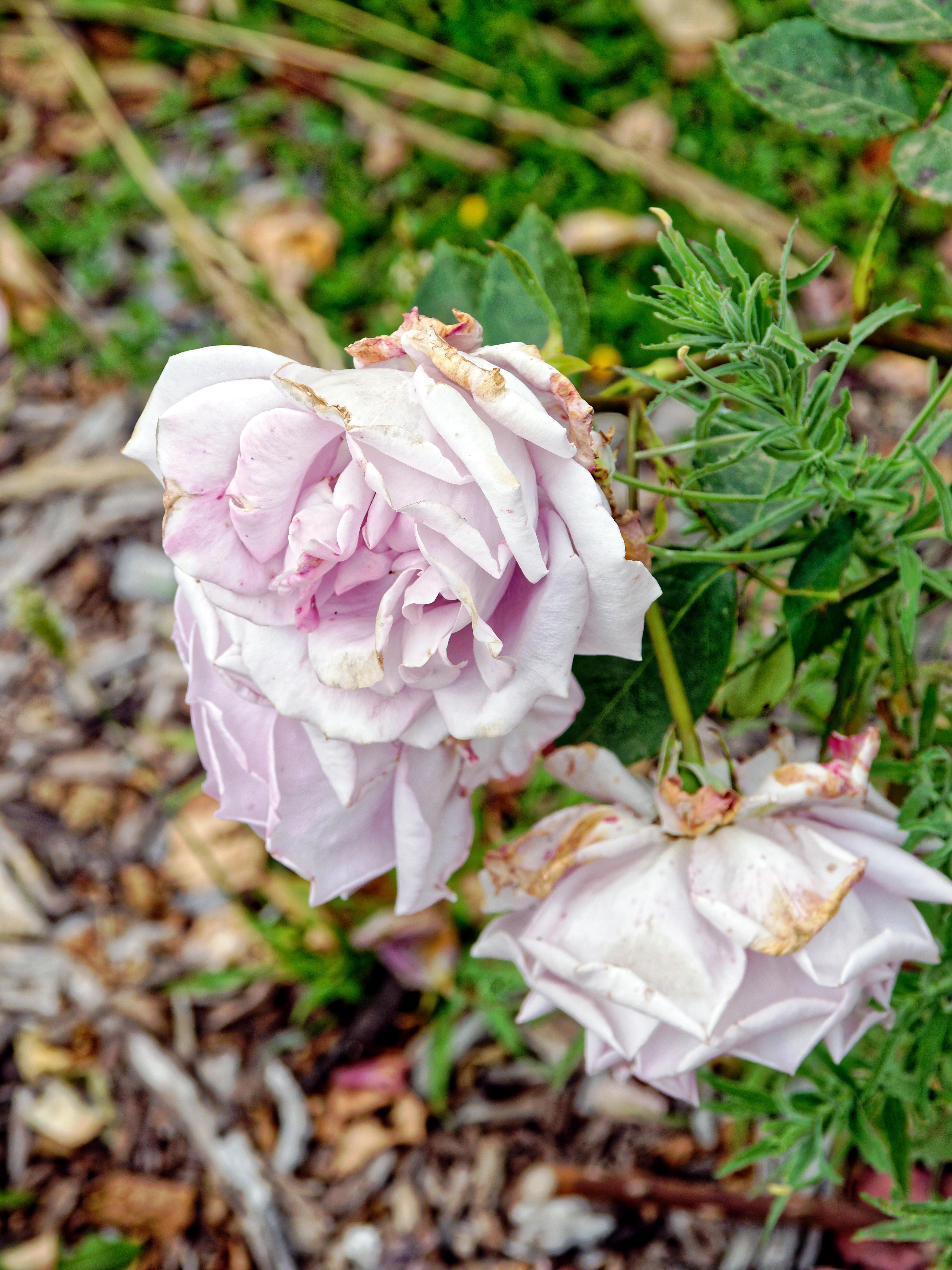 Rose-7.jpeg