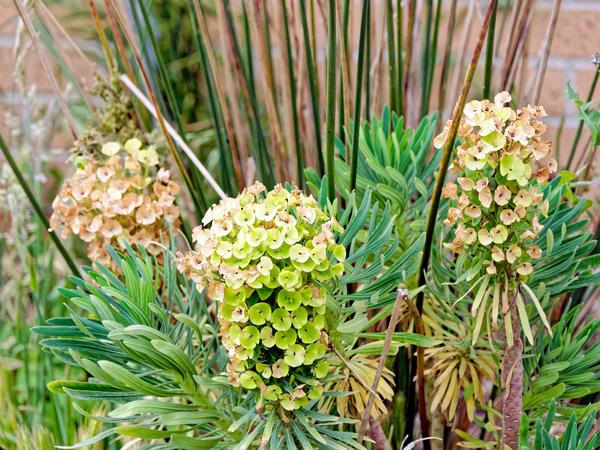 Euphorbia-2.jpeg