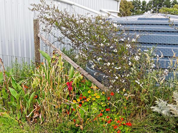 Solanum-laxum-tropaeolum.jpeg