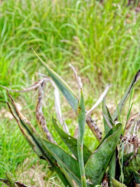 Strelitzia-reginae-1.jpeg