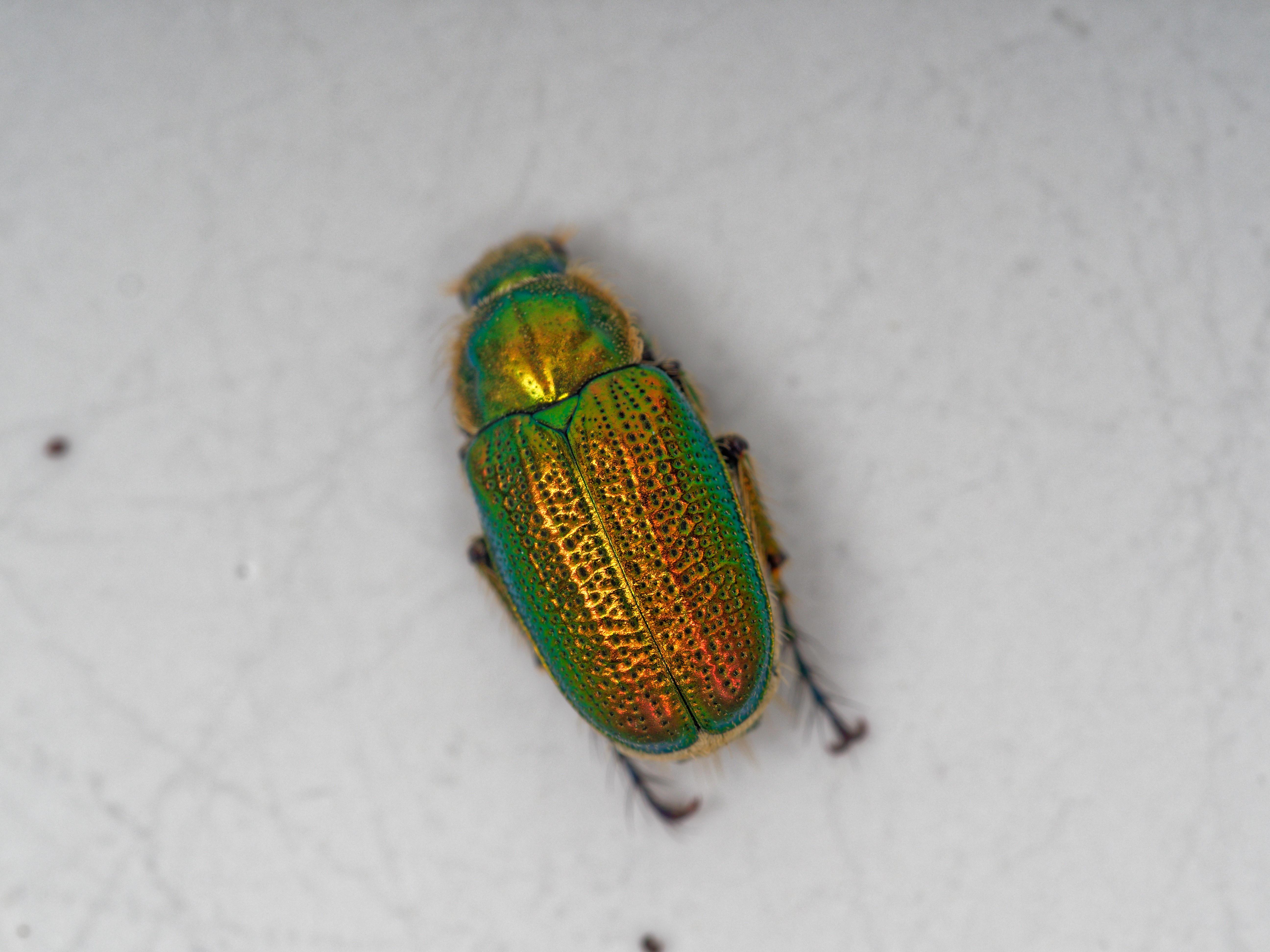 Christmas-beetle-1.jpeg