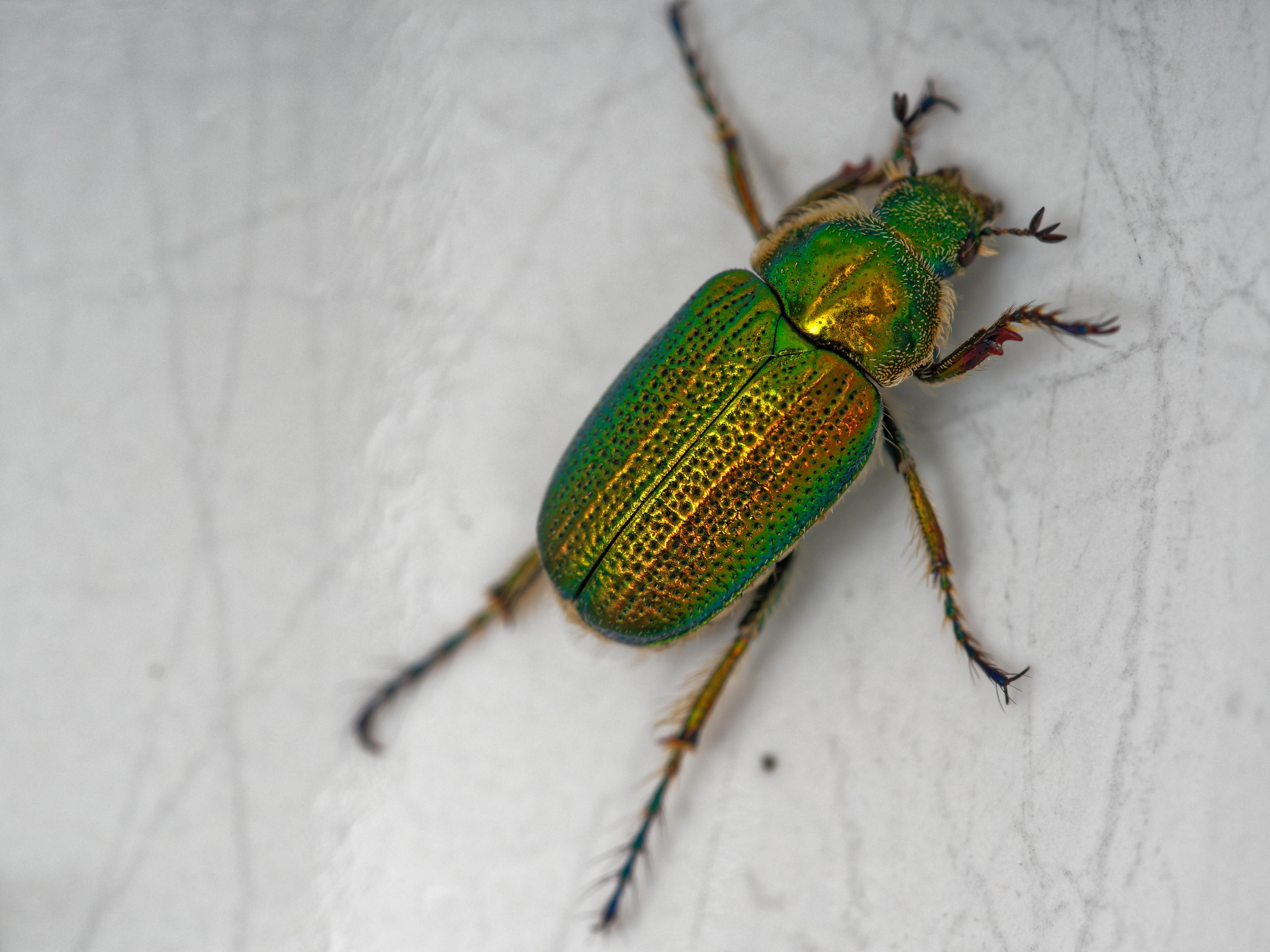 Christmas-beetle-11.jpeg