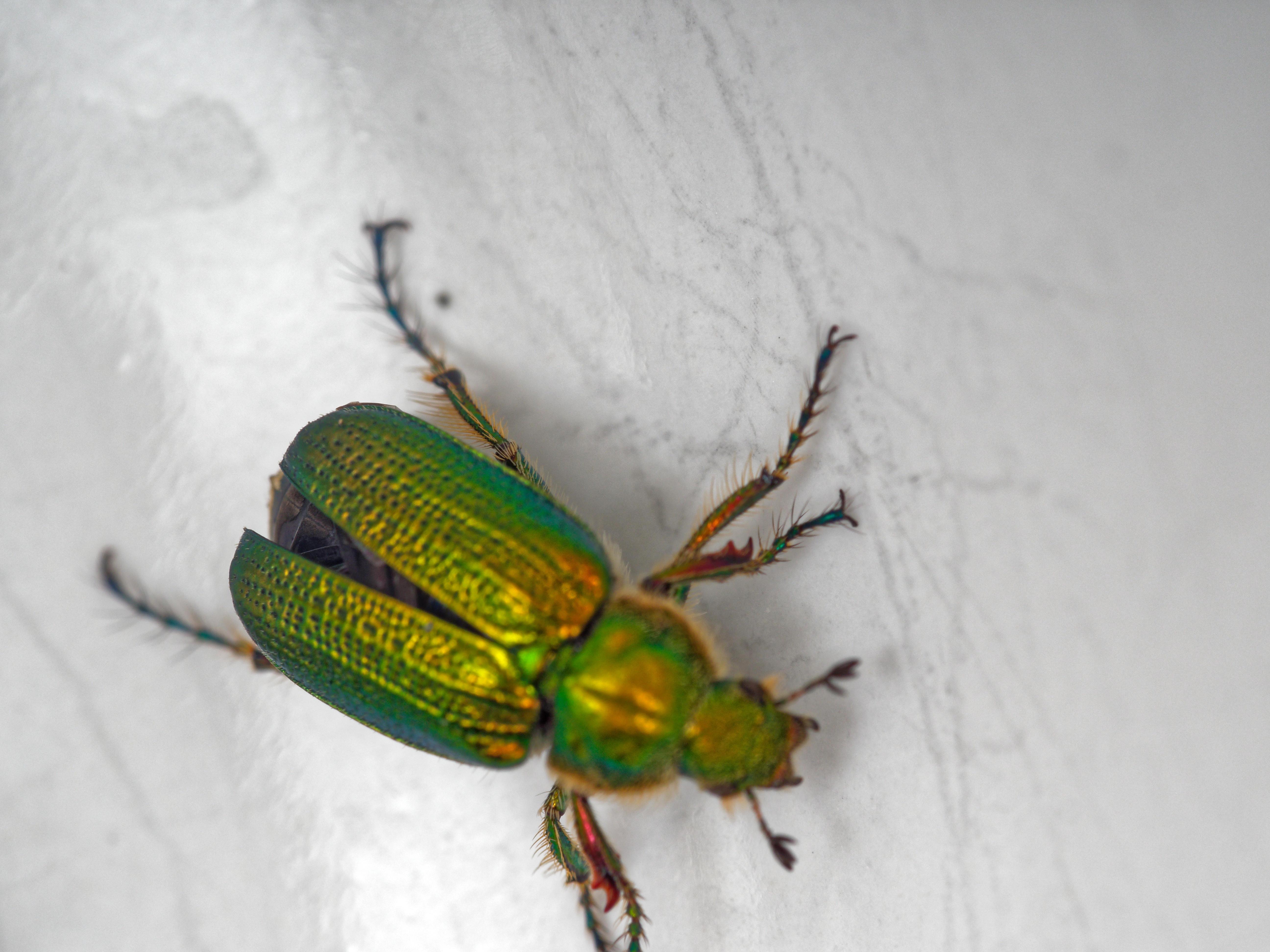 Christmas-beetle-12.jpeg
