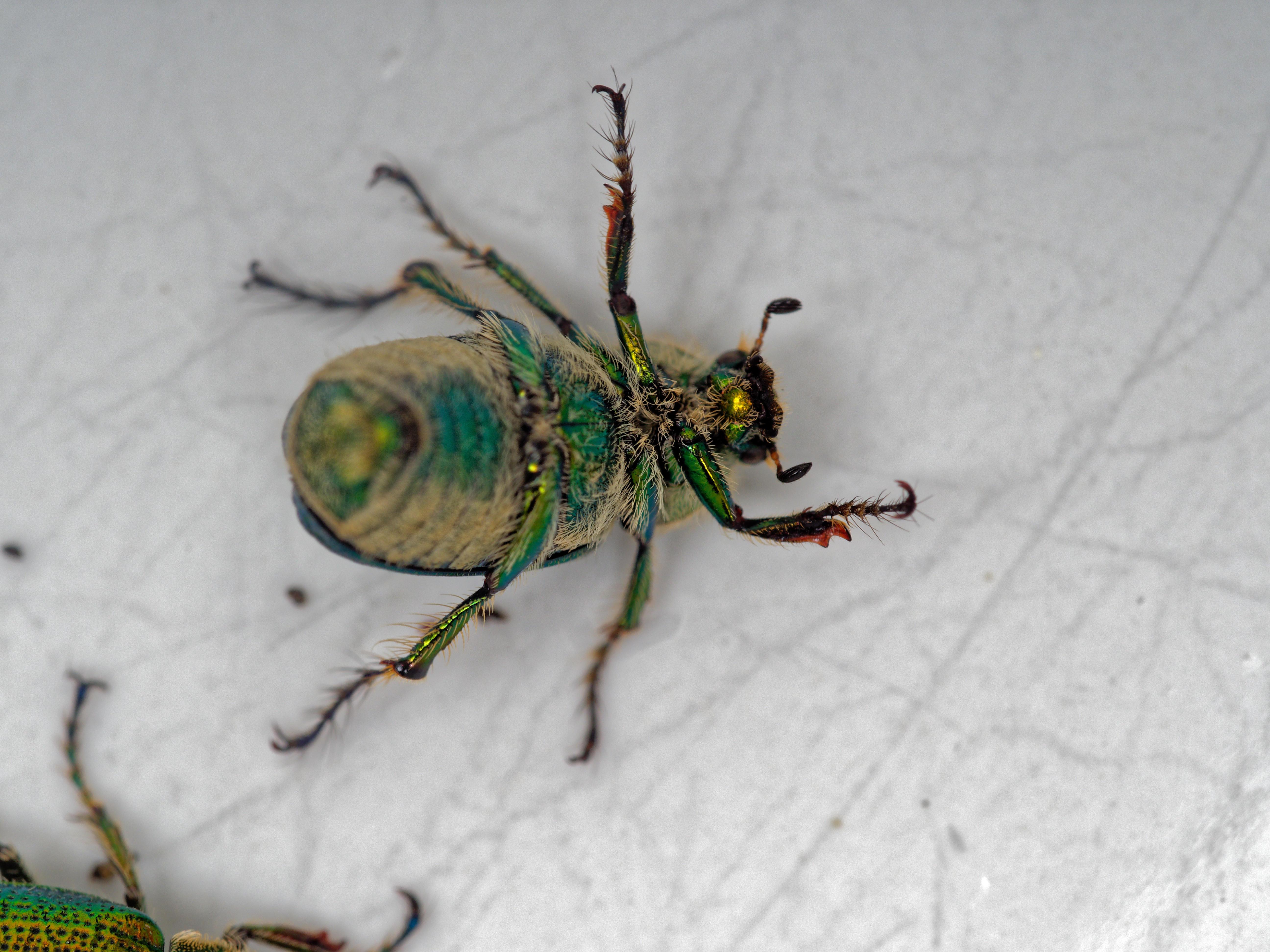Christmas-beetle-2.jpeg