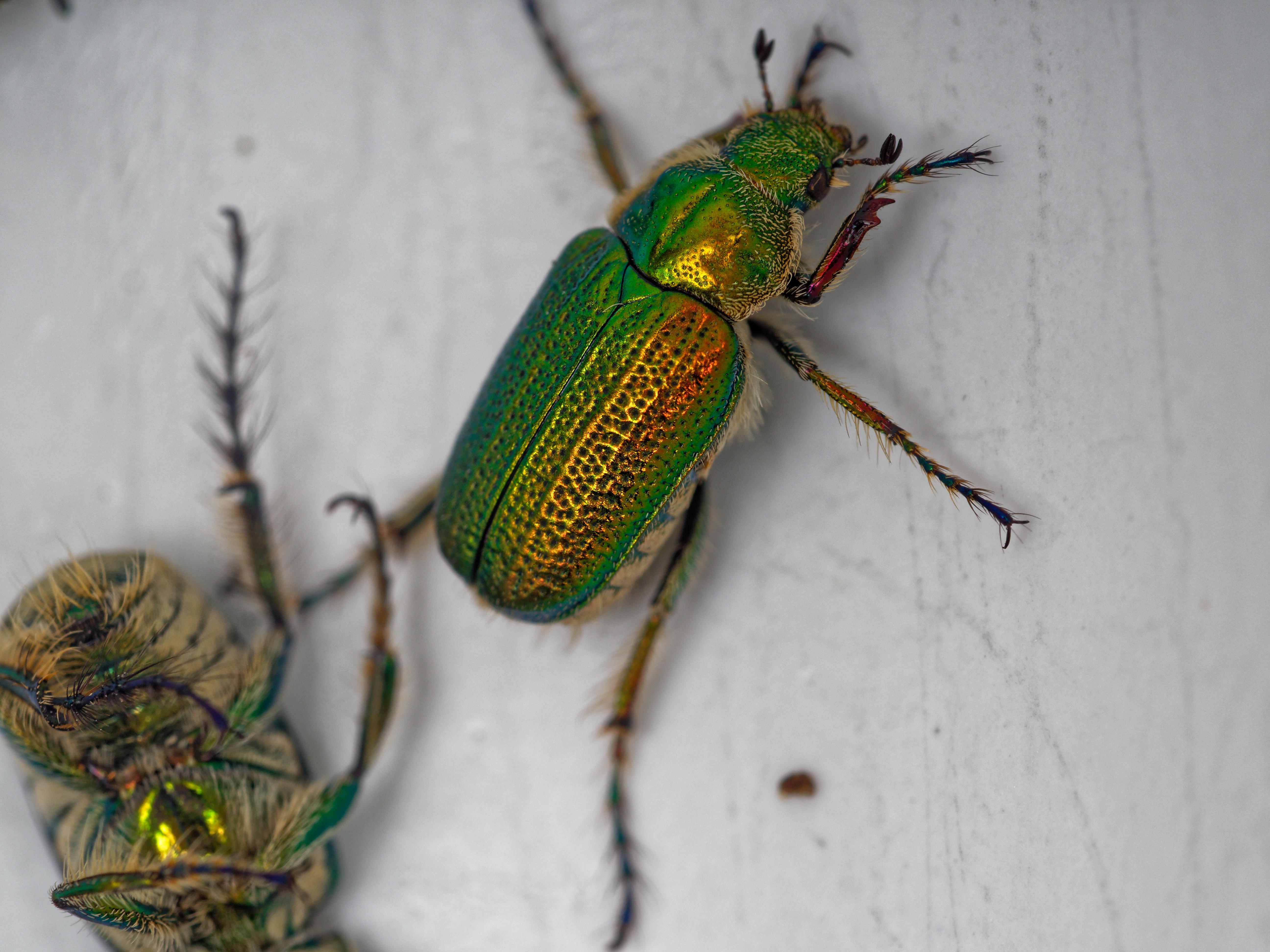 Christmas-beetle-5.jpeg