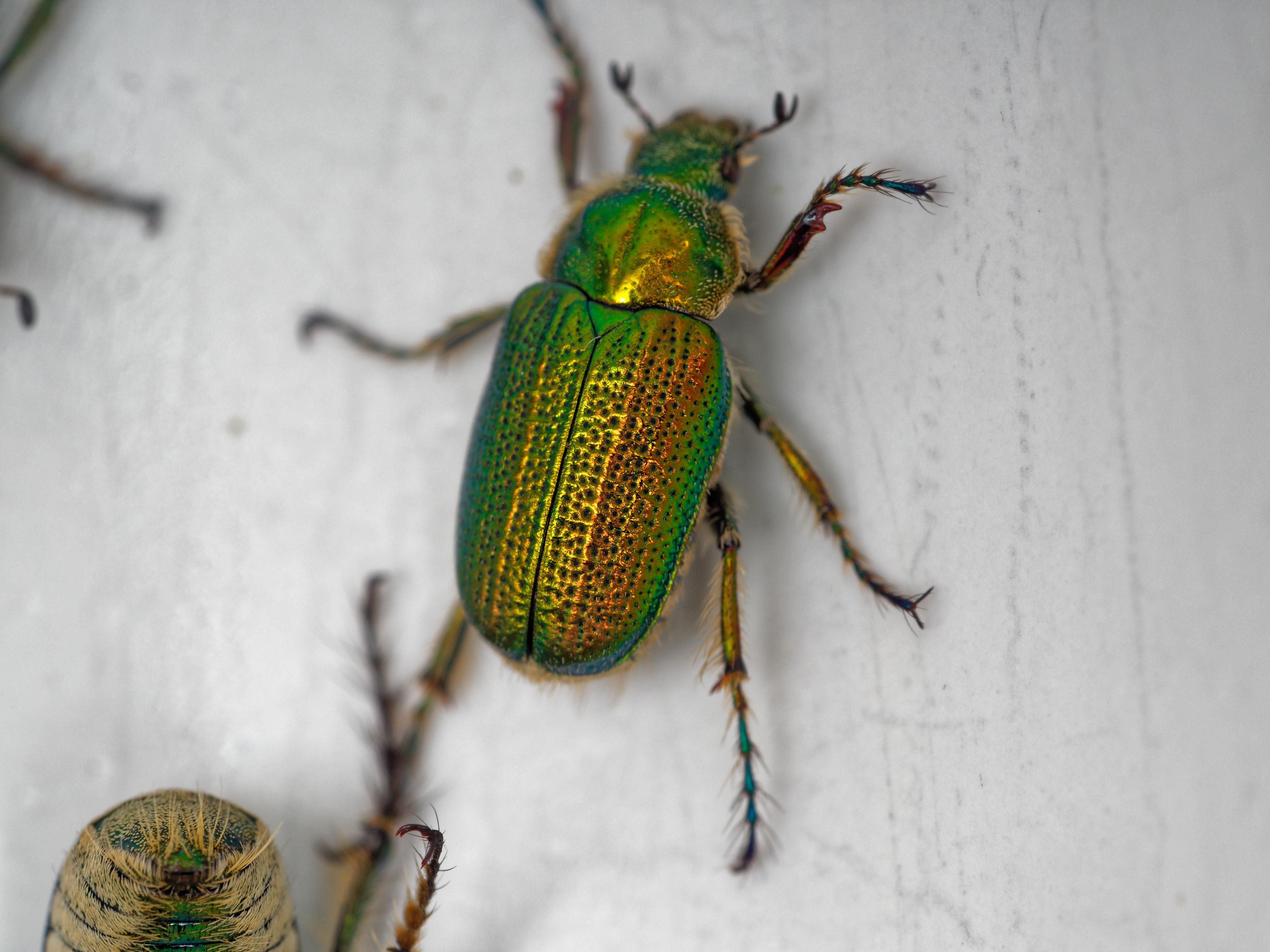 Christmas-beetle-6.jpeg