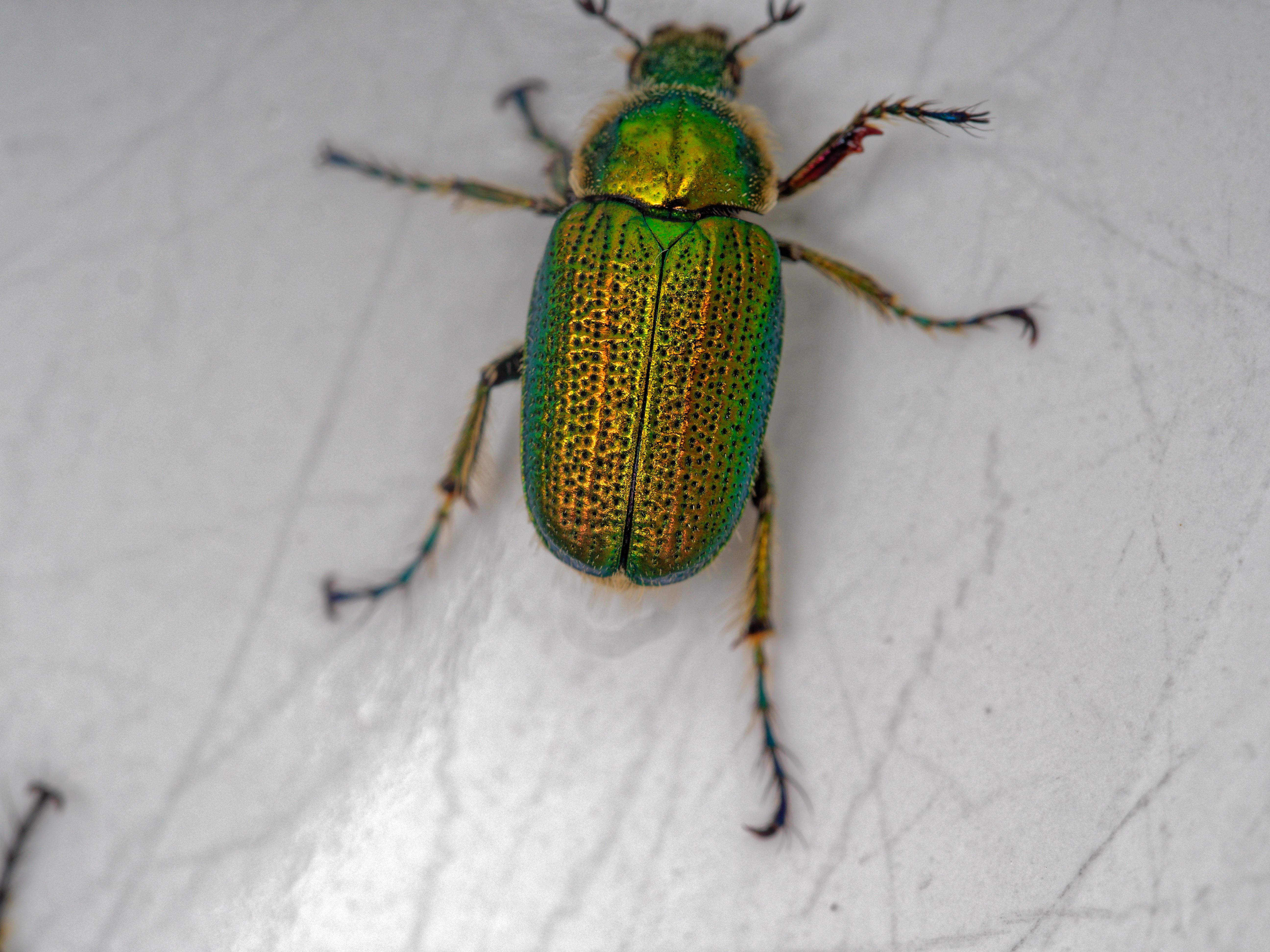 Christmas-beetle-8.jpeg