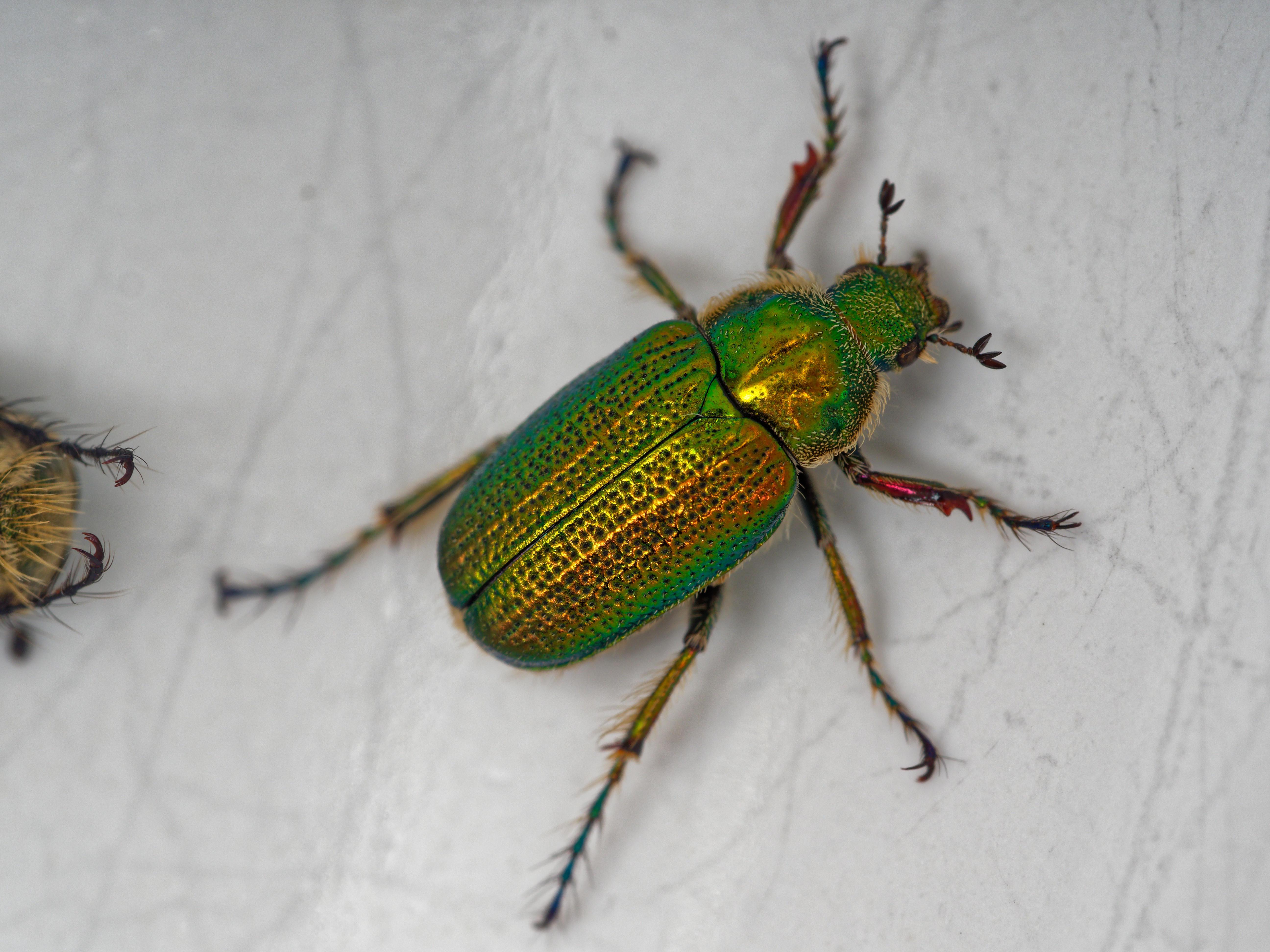 Christmas-beetle-9.jpeg