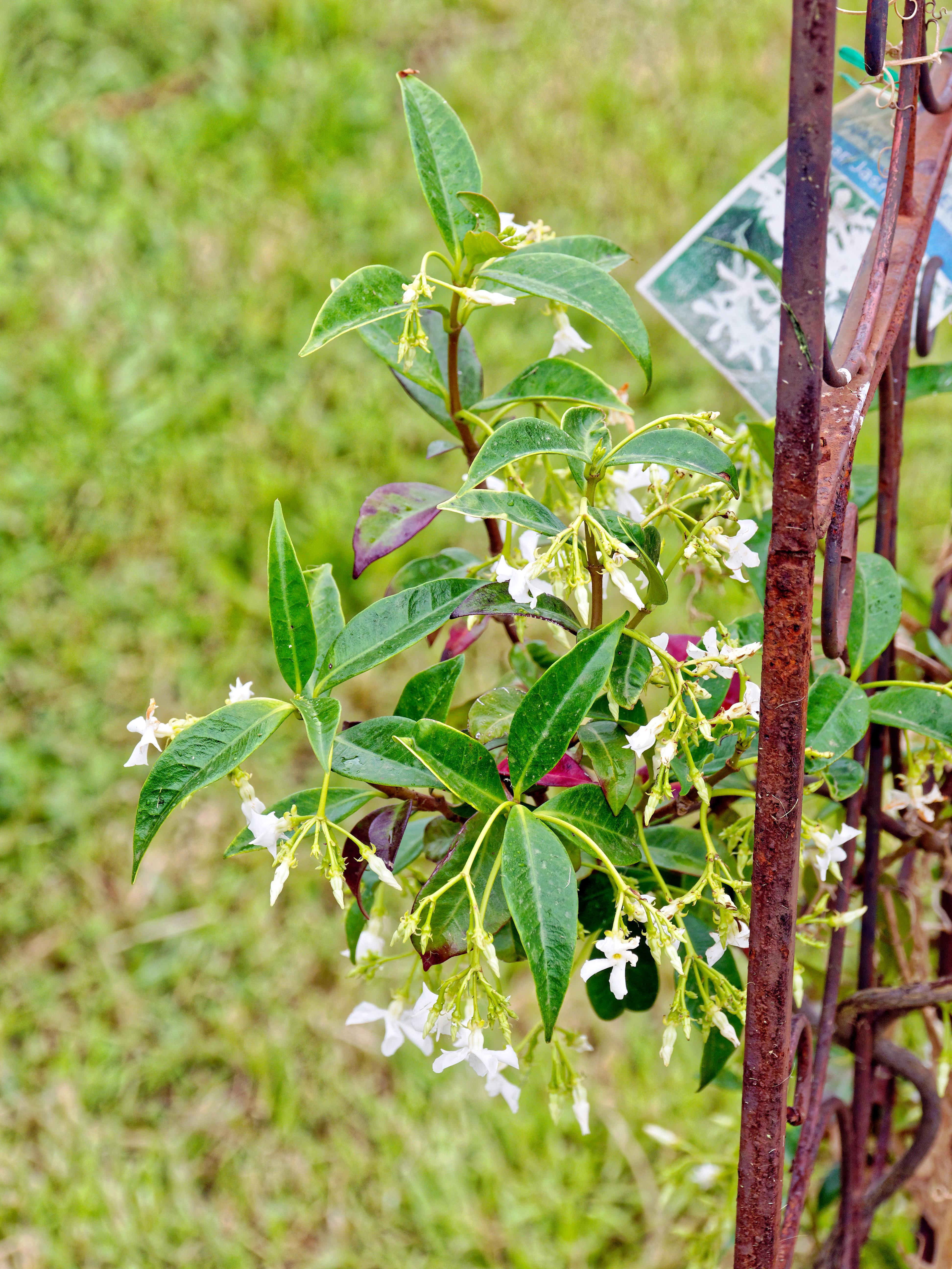 Trachelospermum-jasminoides.jpeg