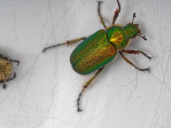Christmas-beetle-10.jpeg
