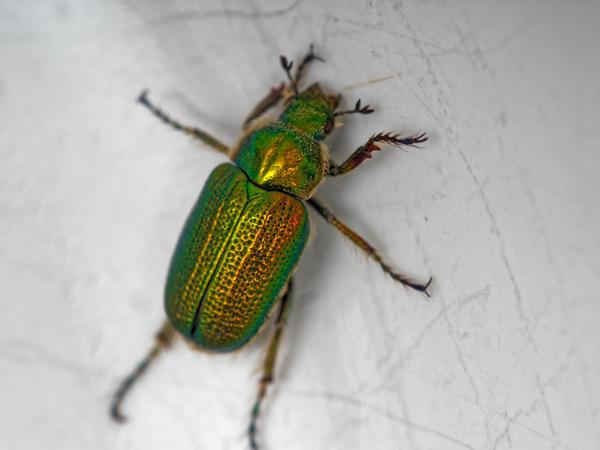 Christmas-beetle-13.jpeg