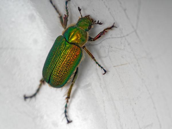 Christmas-beetle-14.jpeg