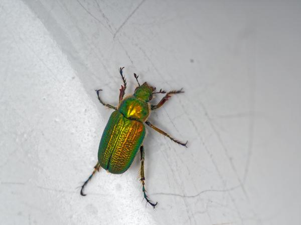 Christmas-beetle-15.jpeg