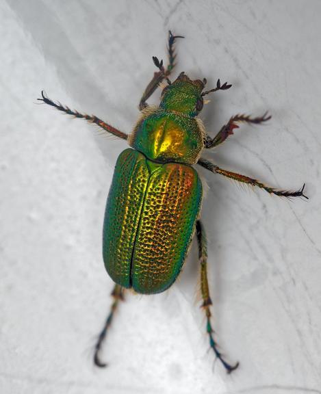 Christmas-beetle-16-detail.jpeg