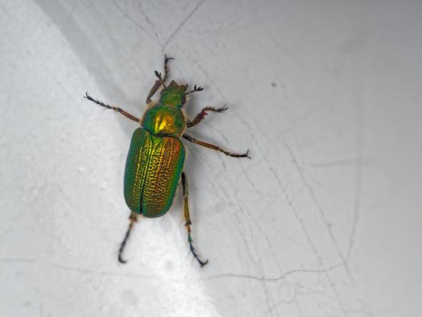 Christmas-beetle-16.jpeg