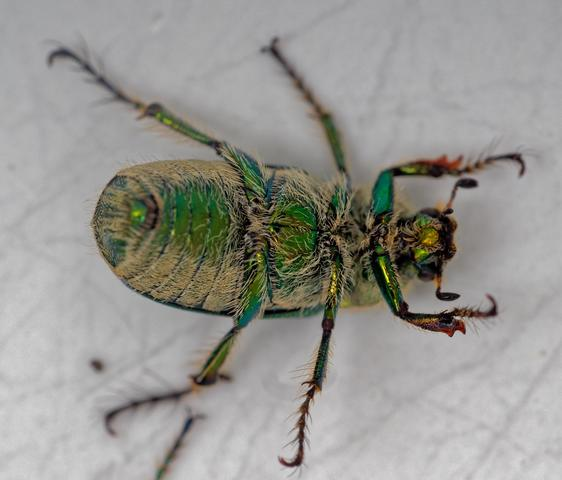 Christmas-beetle-3-detail.jpeg