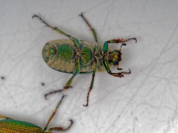 Christmas-beetle-3.jpeg