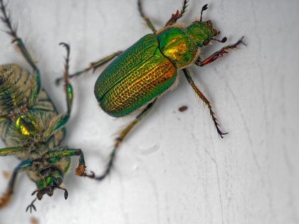 Christmas-beetle-4.jpeg