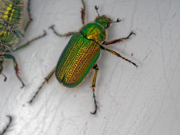 Christmas-beetle-7.jpeg