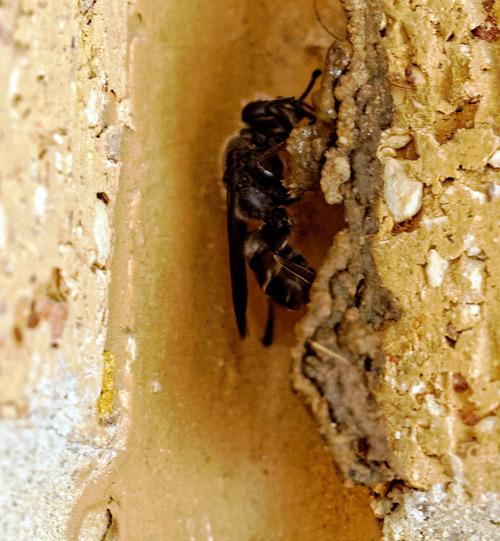 Mud-wasp-19.jpeg