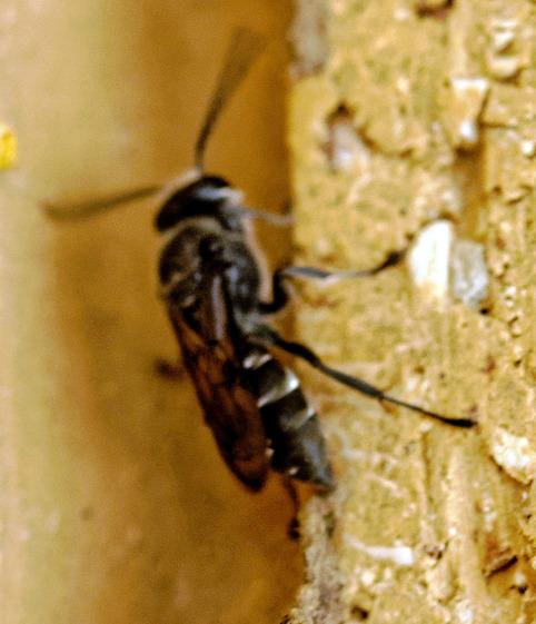 Mud-wasp-24.jpeg