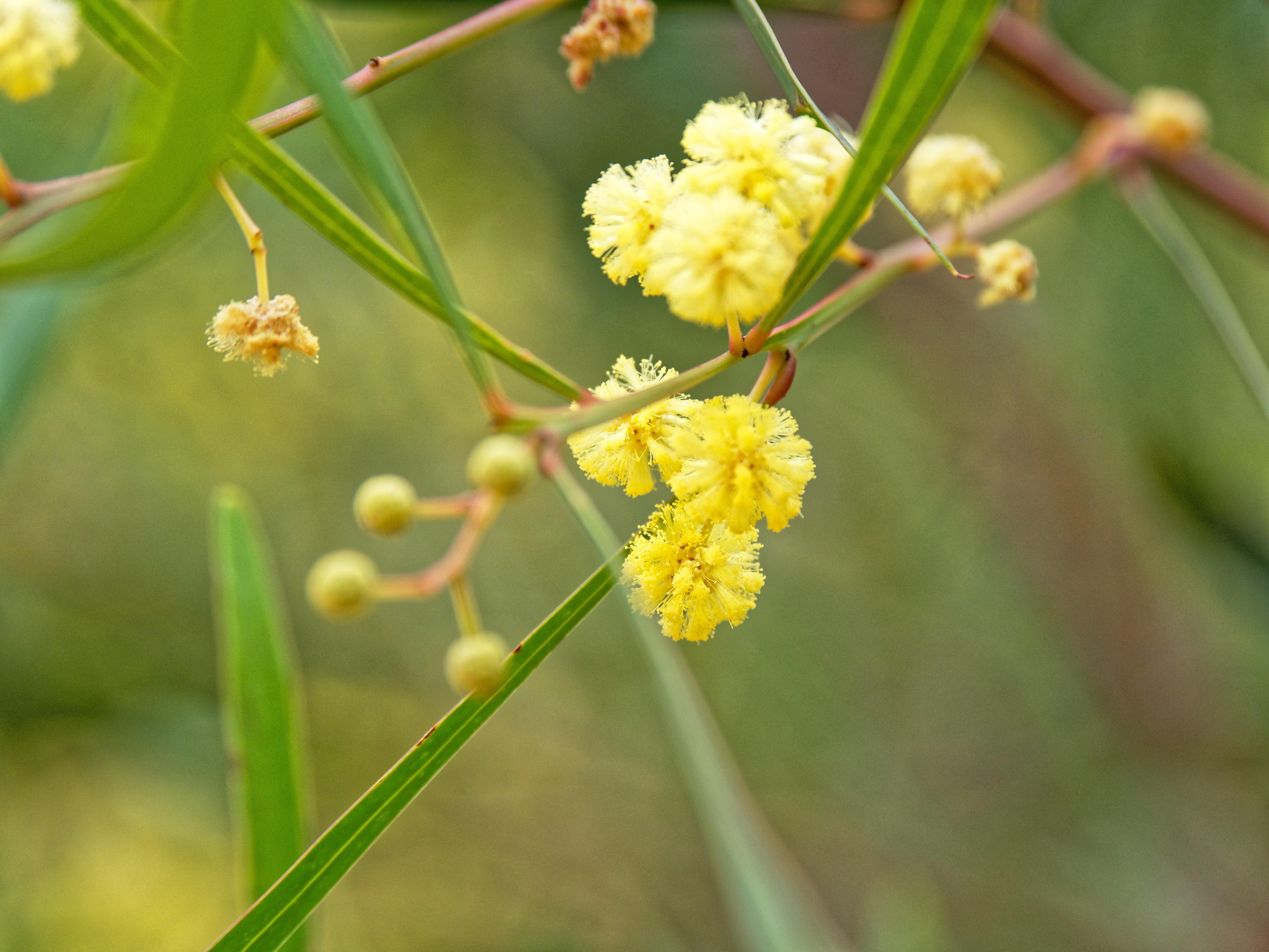 Acacia-stricta-3.jpeg