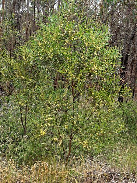 Acacia-stricta-1.jpeg