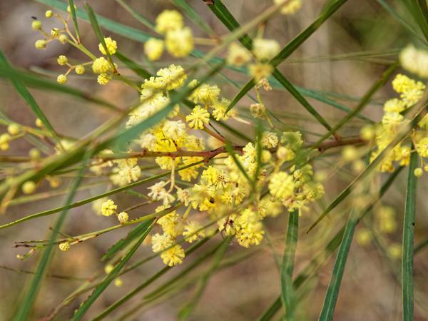 Acacia-stricta-2.jpeg