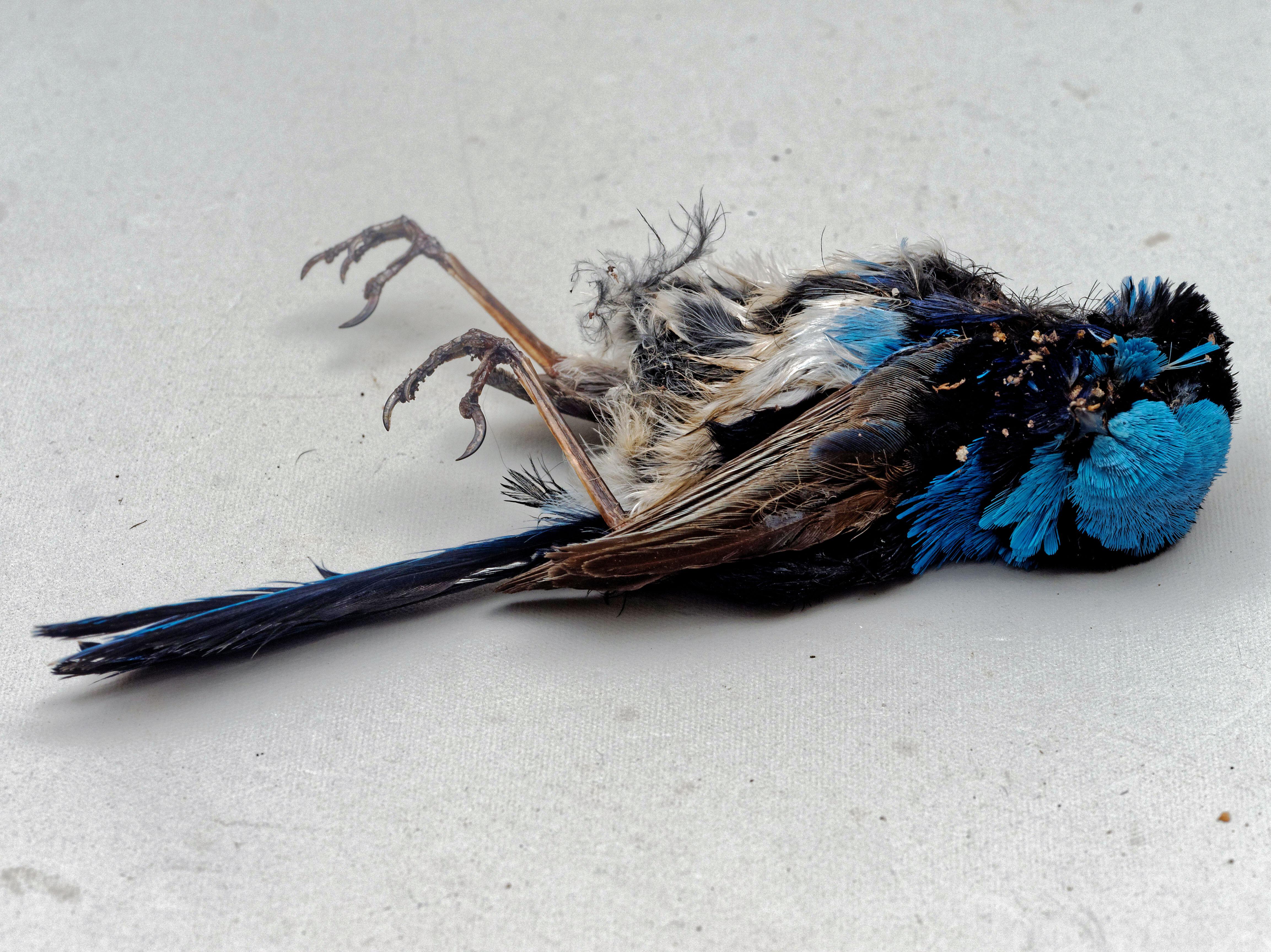 Fairy-wren-1.jpeg