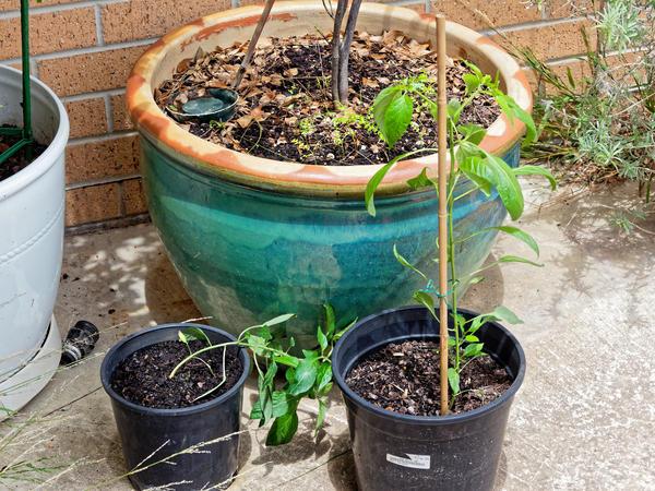 Chili-plants.jpeg