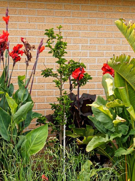 Canna-Hibiscus-2.jpeg