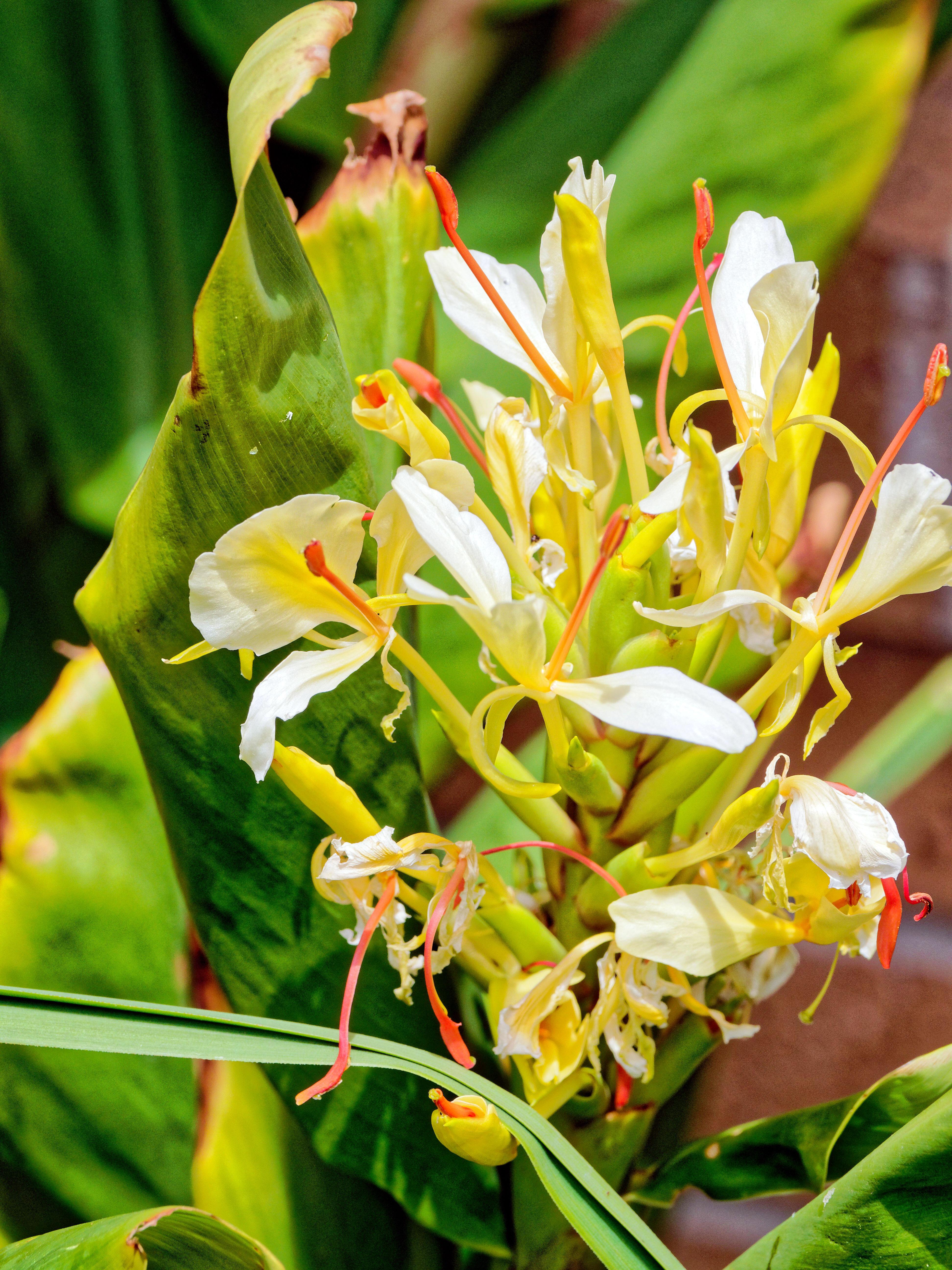 Helichrysum-1.jpeg