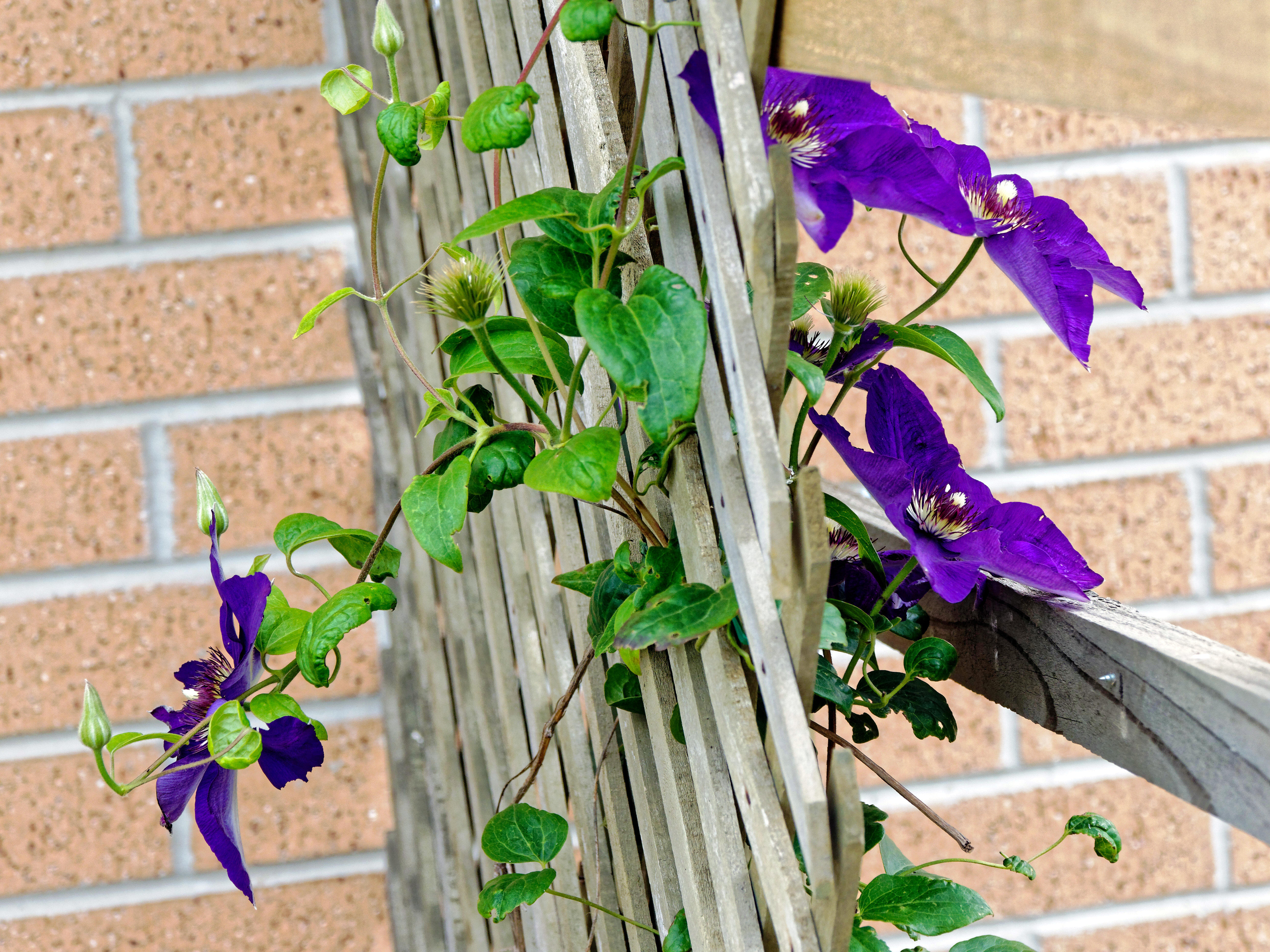 This should be Clematis-2.jpeg.  Is it missing?