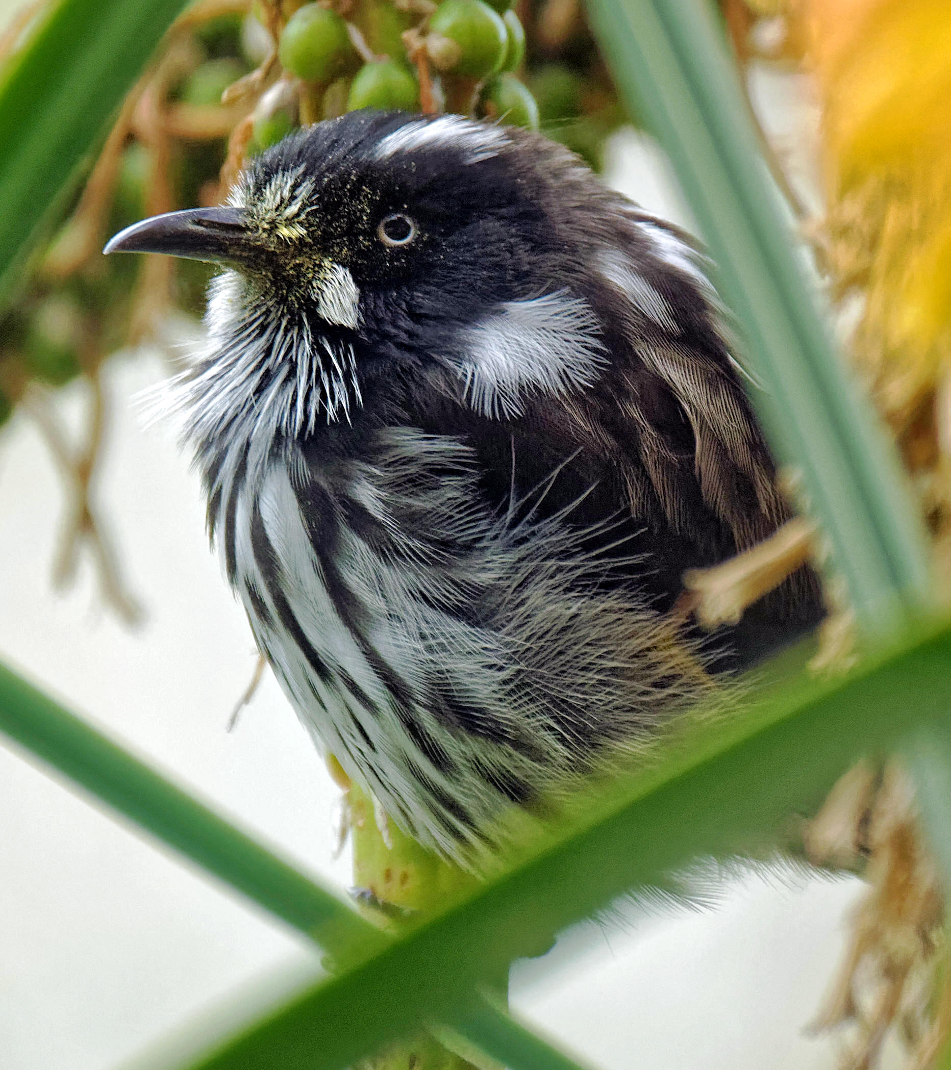 Honeyeater-10.jpeg